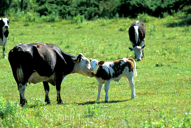 Cow grooming young calf