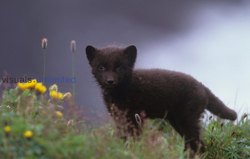Arctic Fox pup ,Alopex lagopus, Pribilof Islands, Alaska, USA.