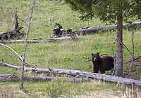 I encountered this cinnamon black bear boar during a hike.