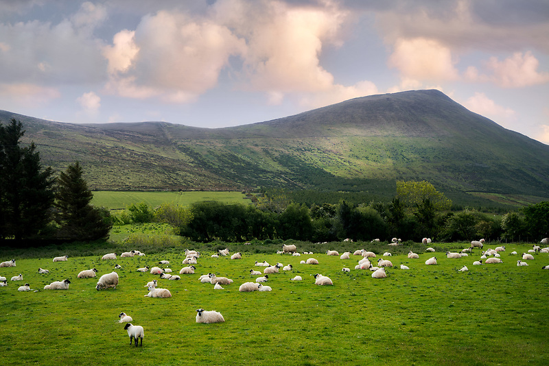 Sheep in pasture near Castlegregory. County Claire, Ireland