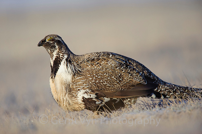 Relaxed male Greater Sage-Grouse (Centrocercus urophasianus) on a lek. Freemont County, Wyoming. March.