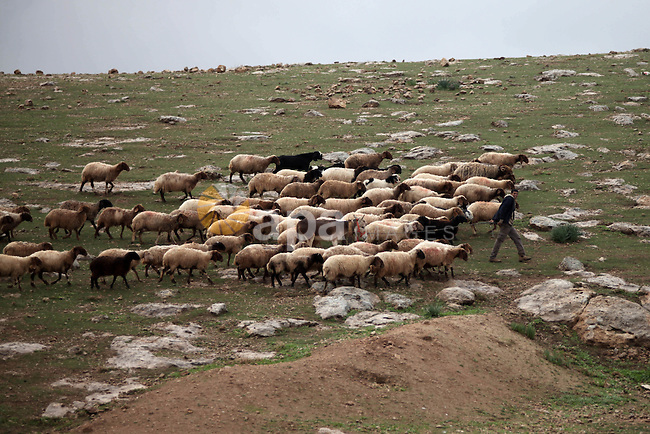 A Palestinian man leads a flock of sheep in the Jordan Valley near West Bank city of Jericho on December 14, 2014. Israel has heavily invested in transferring the Jordan Valley into a completely Israeli area. Tens of settlements and agricultural outposts have been established by Israel in the Valley, which makes up about one-third of the total area of the West Bank occupied since 1967, which the international community does not recognize as an Israeli land. Photo by Shadi Hatem