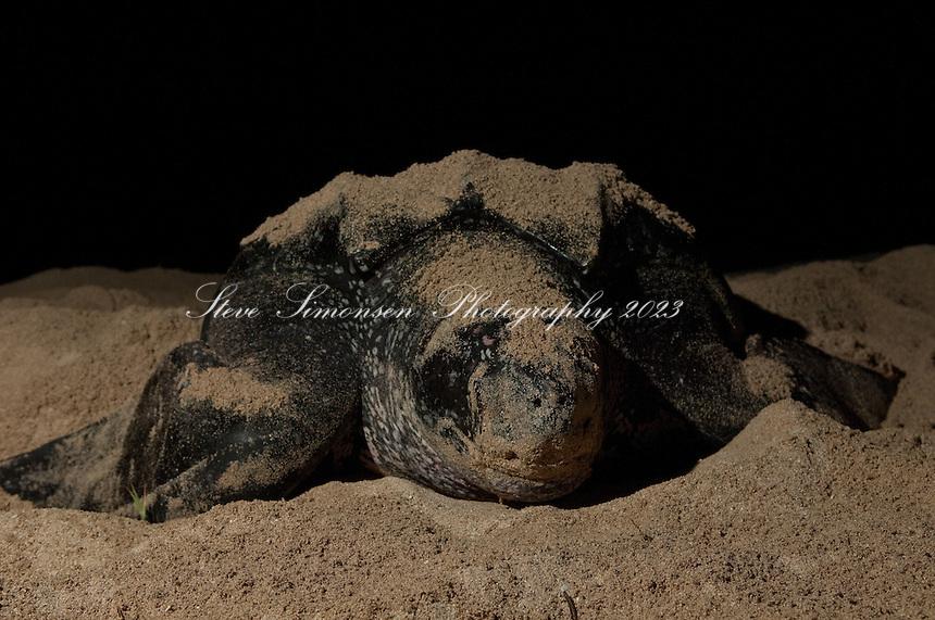 Endangered Leatherback Turtle.nesting at Sandy Point Wildlife  Refuge.St Croix, U.S. Virgin Islands