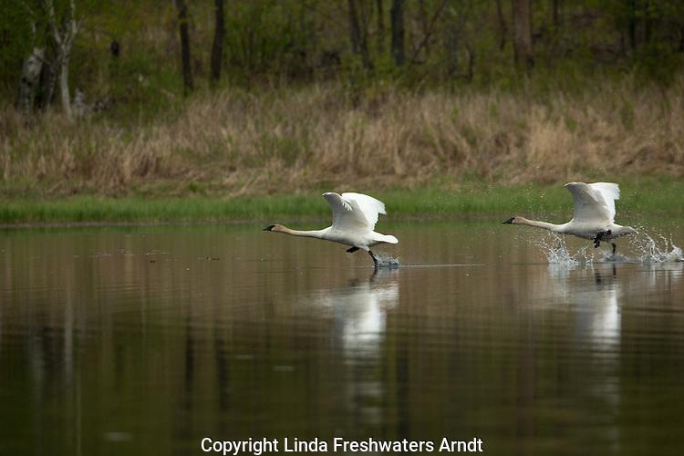 Trumpeter swans taking flight