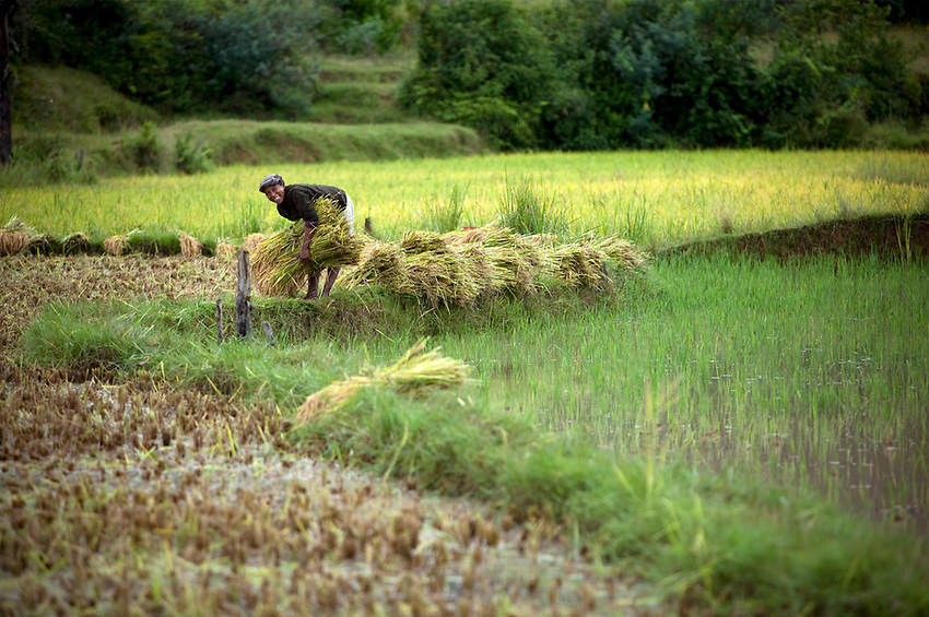 A women harvesting rice in the central highlands of Madagascar, near the village of Sandrandahy.