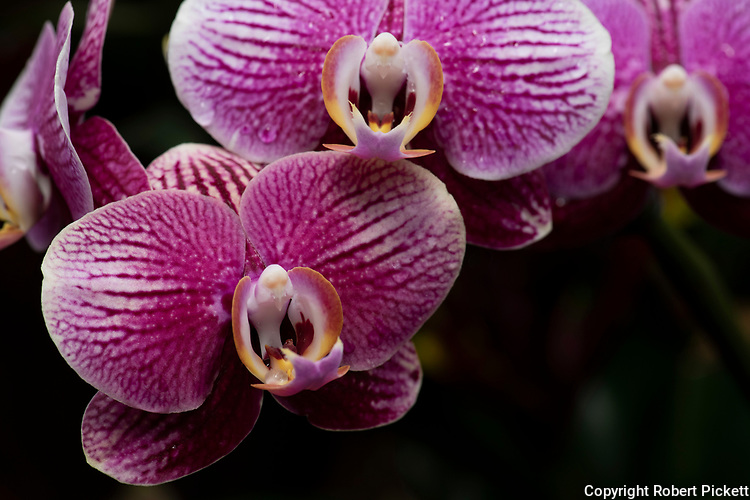 Dendrobium Orchid, genus of mostly epiphytic and lithophytic orchids in the family Orchidaceae