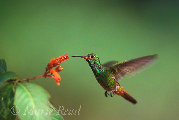 Rufous-tailed Hummingbird (Amazilia tzacatl)attracted to feed on nectar from a flower, Gamboa, Panama<br /> Slide # B97-33