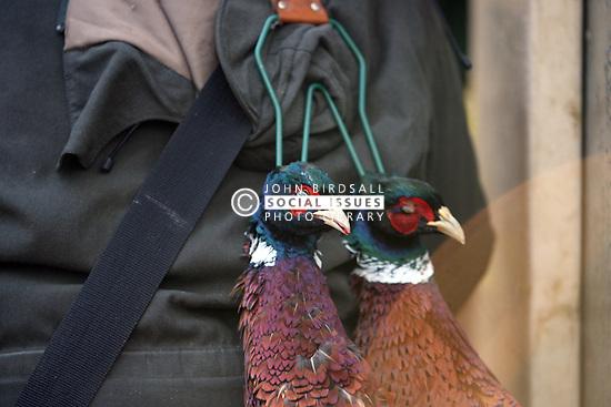 Game shooting South West England. Shot pheasants