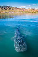 whale shark, Rhincodon typus, Baja California, Mexico, Gulf of California, Sea of Cortez, Pacific Ocean