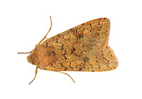 Brick - Agrochola circellaris