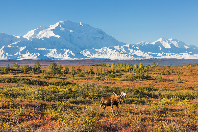Bull moose walks across the tundra in front of Mt. Denali, Denali National Park, Alaska.