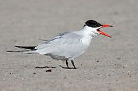 Caspian Tern - Hydroprogne caspia - Adult breeding