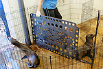 Employees and volunteers have taken on the task of caring for more than 100 rescued sea lion pups at the Pacific Marine Mammal Center in Laguna Beach, California. Here they separate pups for a feeding at the center February 25, 2015.