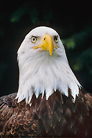 Volta, injured bald eagle at the Alaska Raptor Center. ARC provides medical treatment to injured bald eagles and other birds. The 17-acre campus borders the Tongass National Forest, a temperate coastal rainforest, and the Indian River in Sitka, Alaska,