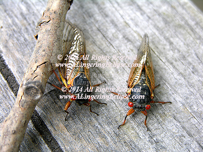 """The periodical cicada, Magicicada septendecim, appeared today in Illinois.....Egg-laying injury occurs mostly on newly planted shade trees. Damage occurs when the female cicada cuts two parallel slits in small twigs where she lays 24 to 28 eggs. Sometimes, a continuous slit 2 to 3 inches long is formed as she slowly makes her way up a twig. The slits cause flagging, or breakage, to the tips of the branches. The eggs hatch in midsummer, and young cicadas, or nymphs, fall to the ground. They burrow into the ground and spend 16½ years feeding on small roots. At the end of this time, usually in May or early June, nymphs move to the surface and crawl up a tree trunk where they shed their skins.....Adults are red eyed and dark bodied. They do not feed and live only for a few weeks while reproduction takes place. Males are responsible for the noise when they call for mates. The most common call sounds like """"f-a-r-r-o.""""...."""