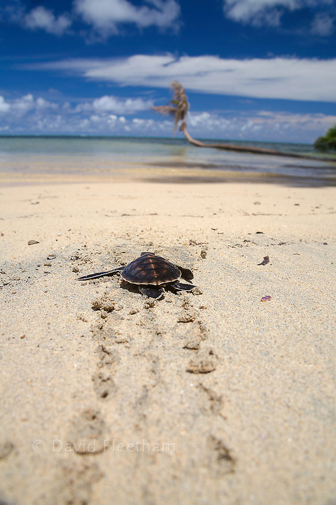 A newly hatched baby green sea turtle, Chelonia mydas, an endangered species, makes it's way across the beach to the ocean off the island of Yap, Micronesia.