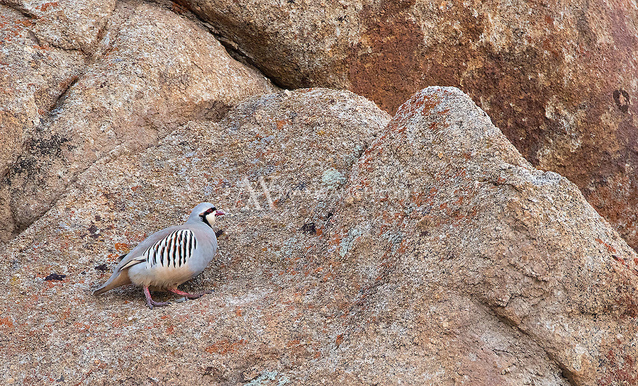 The Chukar partridge has been imported and released in places such as North America, but I was fortunate to see it in its native home.