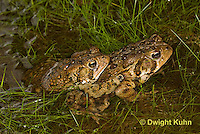FR11-510z  American Toads mating in pond, Bufo americanus or Anaxyrus americanus