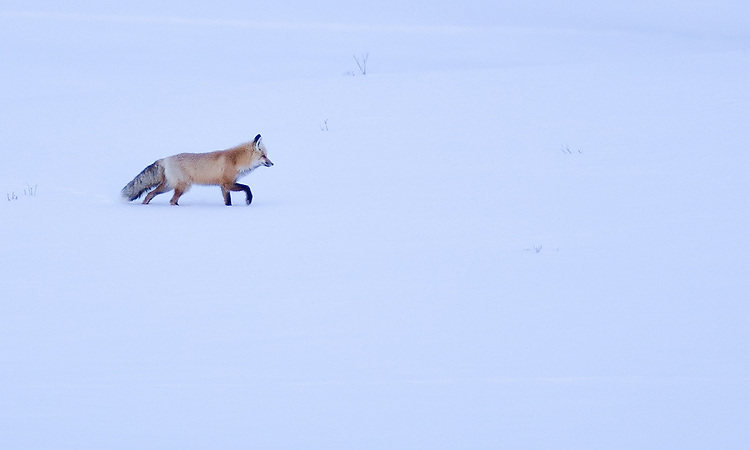 Fox patrolling in Hayden Valley, Yellowstone NP