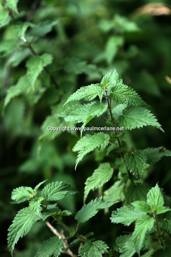 Noreen Van der Velde's nettles growing in her garden at home in County Antrim, Friday, August 9, 2019. (Photo by Paul McErlane for the Belfast Telegraph)