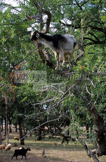 frique/Maghreb/Maroc/Env d'Essaouira : Chèvres dans les Arganiers en train de manger les fruits qui servent à faire l'huile d'Argan