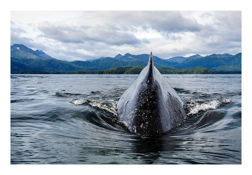 USA, Alaska, SE Alaska. Humpback whale diving at close range, and passing just a few feet below our kayaks.