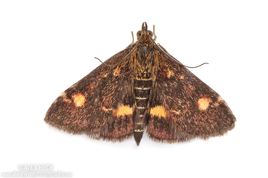 Pyrausta aurata photographed in mobile field studio on a white background. Peak District National Park, Derbyshrie, UK. August.