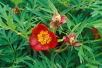 Paeonia potaninii species peonies in red flowers with seed head