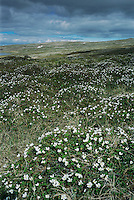 Cloudberry, Rubus chamaemorus, blooming in tundra, Varanger peninsula, Norway, Europe