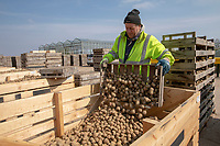 Handling seed potatoes - Lincolnshire, April