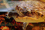 "Our pet Yellow Bellied Cooter ""Jorge""."