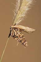 Bagworm moth (Psychidae), Caterpillar, Sinton, Coastal Bend, Texas, USA