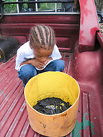 young local boy watches over leatherback sea turtle hatchlings, Dermochelys coriacea, before release, Dominica, West Indies, Caribbean, Atlantic