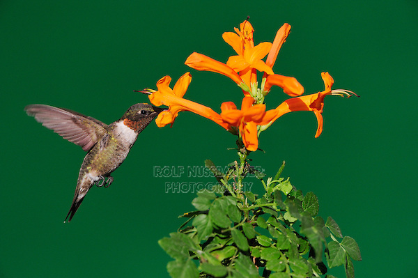 Ruby-throated Hummingbird (Archilochus colubris), male in flight feeding on Honeysuckle flower, Hill Country, Central Texas, USA