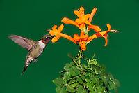 Ruby-throated Hummingbird (Archilochus colubris), male in flight feeding on Honeysuckle flower, Hill Country, Central Texas, USA