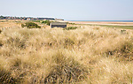 Marram grass growing in sand dunes by sandy beach at Old Hunstanton, north Norfolk coast, England