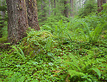 Olympic National Park, Washington<br /> Flowering bunchberry and ferns under old growth Douglas fir trees in the Sol Duc Valley