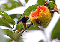 Male white-vented euphonia eating guava