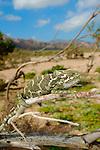 A male Chameleon (Chamaeleo monachus), Socotra, Yemen.