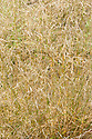 Deschampsia cespitosa 'Goldtau', early August. Sometimes known as 'Golden Dew'.