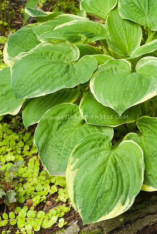 Hosta Christmas Tree Plant Flower Stock Photography