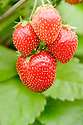 Strawberry 'Maxim', a late summer fruiting variety.