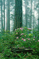 Western rhododendron and Douglas fir<br />