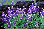 Lupine Wildflowers in the Bitterroot National Forest in Montana after a wildfire