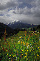 Spring flowers and meadows, Pitztal Valley, Imst district, Tyrol/Tirol, Austria, Alps.