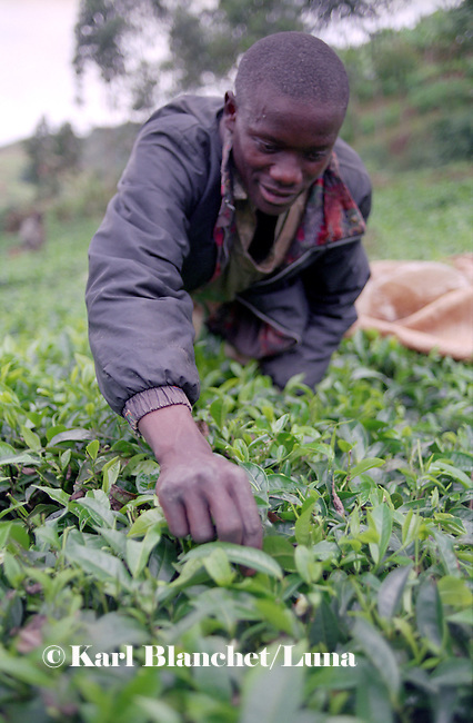 A young worker cutting black tea leaves in the plantation of Rulindo, Rwanda