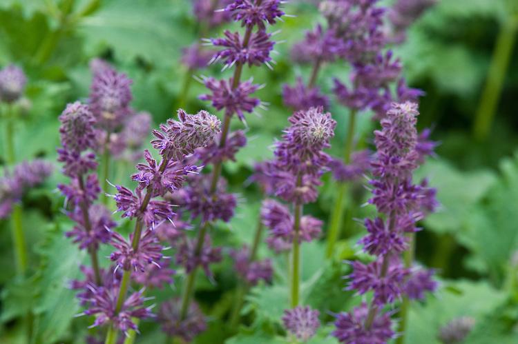Salvia verticillata 'Purple Rain', end June.