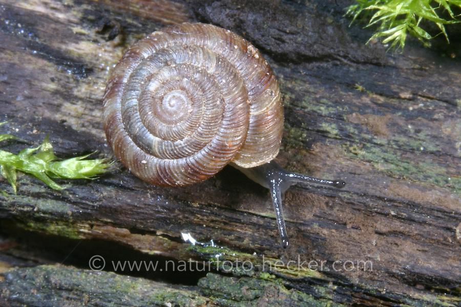 Gefleckte Schüsselschnecke, Gefleckte Knopfschnecke, Discus rotundatus, Goniodiscus rotundatus, Rotund Disc, disk snail, Schüsselschnecken, Patulidae, Endodontidae, disk snails