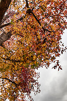 A tangle of autumn leaves dangle from the limbs of a Sweetgum tree in a neighborhood park on an overcast day.