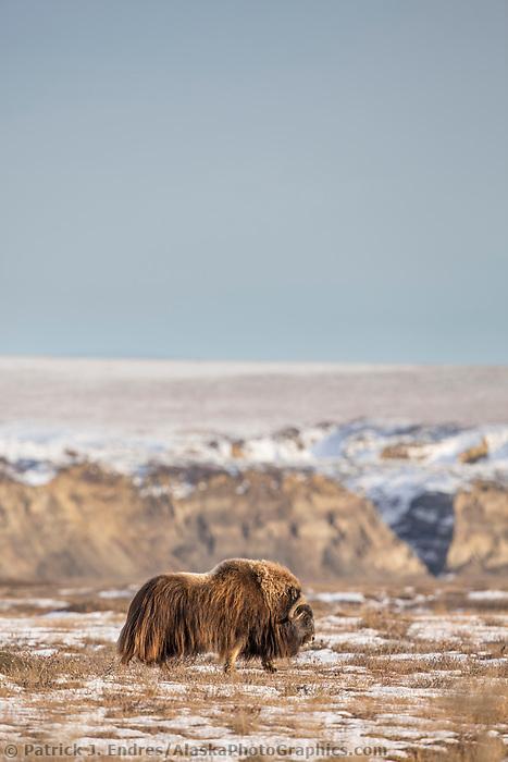 Bull muskox walks along the snow covered tundra on Alaska's arctic coastal plain.